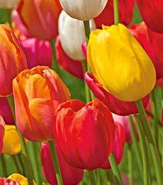 Finola Tulip   Found on whiteflowerfarm.com