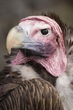 Headshot of Lappet Faced Vulture (torgos tracheliotus) looking at viewer Stock Photo