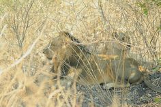 Asiatic lion and lioness (Panthera leo persica) at Gir National park India. Asiatic Lion, Lion And Lioness, Leo, National Parks, India, Animals, Goa India, Animales, Animaux