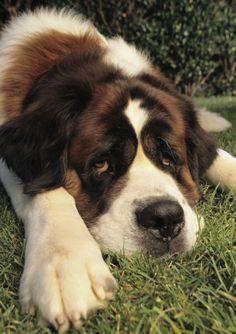 Portrait of a sad-eyed Saint Bernard dog. Sprocker Spaniel, Cute Puppies, Cute Dogs, Dogs And Puppies, Doggies, Corgi Puppies, Animals And Pets, Funny Animals, Cute Animals