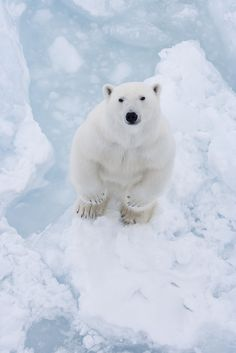 Polar bear - So cuddly looking! Is there anyone who hasn't imagined hugging a polar bear at least once? Mundo Animal, My Animal, Cute Baby Animals, Animals And Pets, Nature Animals, Wild Animals, Funny Animals, Beautiful Creatures, Animals Beautiful