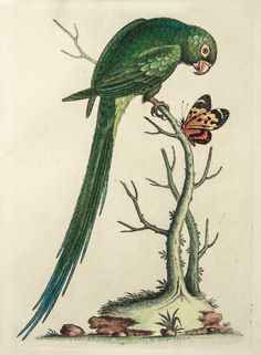 The Antiquarium - Antique Print & Map Gallery - George Edwards - Long-tailed Green Parakeet - Hand-colored copperplate engraving