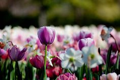 Catch the brilliant colours of tulips, daffodils, pansies, violas and thousands of other flowers during the Dallas Blooms festival, held every spring at the Dallas Arboretum and Botanical Garden.