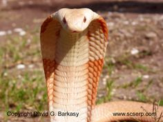Image detail for -Venomous Snake Photo Gallery
