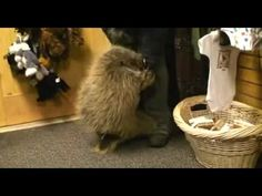 porcupine plays with its owner--it's like a little dog running around in circles all excited!