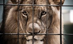South Africa's Under Fire For Plans To Export Hundreds Of Captive-Bred Lion Skeletons | Care2 Causes