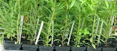 Cooking with fresh herbs..... alice henneman has some good info on using herbs.