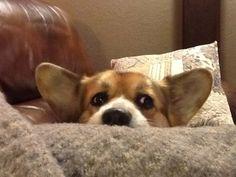 Peek-a-Boo Corgi! | Adorable Bella, a cute Pembroke Welsh Corgi, via The Daily Corgi