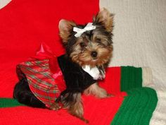 Adorable teacup yorkie puppies ready for their new homes This puppies have been family raised with lots of love and attention They are up to date with their shots Yorkie Puppies, Teacup Yorkie, Adoption, Shots, Free, Animals, Beautiful, Foster Care Adoption, Yorkshire Puppies