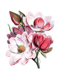Botanische KUNSTDRUCK der Magnolie blüht