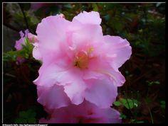 Azalea - photographic processing (287) - elaborazione fotografica di un fiore di una pianta di azalea rosa. I continue the publication of photographs ...