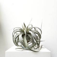 #Airplants #Tillandsia #Xerographica