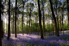 Bluebell wood near Leith Hill Dorking