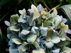 Hydrangea fading on the bush.