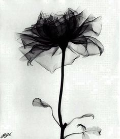 X-Ray image of a rose