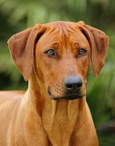 The Rhodesian Ridgeback is a superior athlete.  An excellent companion running dog for hitting the trails.
