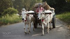 A glimpse of Indian village life: transportation by. two road man india village countryside agriculture rural outdoors livestock mammal cattle cart trans Art Village, Indian Village, Village Photography, Life Photography, Beautiful Birds, Animals Beautiful, Bullock Cart, India Travel Guide, Rural India