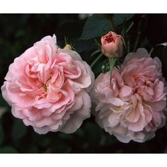 Great Maiden's Blush (Alba) Prior to 1738. Also known as Cuisse de Nymphe, this rose has been known since the 14th century. Creamy white blooms blush to soft pink as the flower matures. Disease resistant, shade tolerant, and very fragrant. Image from Heirloom Roses: http://www.heirloomroses.com/roses/old-garden-roses/great-maidens-blush.html