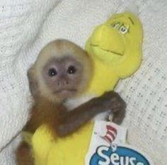 Cute Baby Monkey, Pet Monkey, Cute Baby Animals, Funny Animals, Monkey Pictures, Little Monkeys, Cute Memes, Mood Pics, Stupid Memes