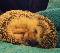 This hedgehog taking a nap: