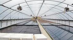 2014 tobacco crop is underway