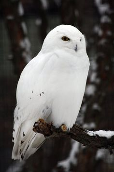 Beautiful snowy owl. I have this overwelming love and an unhealthy obsession with these winged creatures ^-^
