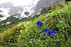 Enziane sind unglaublich faszinierende Blumen in alpinen Lagen. Einer davon ist der Stengellose Enzian – aufgenommen am Hochkönig. Las Vegas Hotels, Innsbruck, French Quarter, Bangkok Thailand, Oahu, Wilder Kaiser, Austria, Mountains, Nature