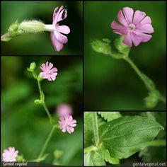 Plante vivace de la famille des Caryophyllacées (Caryophyllaceae), aux feuilles : opposées, simple - limbe unique, et fleur : cyme, rose.
