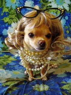 Chihuahua--- LOOK EMILY I HAVE MY PEARLS ON !! LOVE YOU GIRL !!