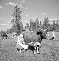 vintage everyday: Black and White Photos of Daily Life in Finland in 1941 Helsinki, Vintage Photographs, Vintage Photos, Meanwhile In Finland, History Of Finland, Cow Photos, Pictures, Creepy Houses, Finland Travel