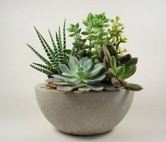 Succulents in a concrete bowl