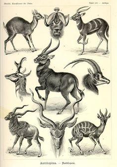 Antilopes                                                                                                                                                      Más