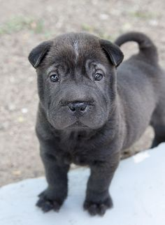 Shar Pei Pup by roni chastain