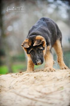 German shepherd pup Check more at http://hrenoten.com