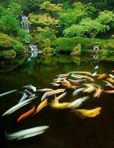 annam k google japanese gardensjapanese koiportland
