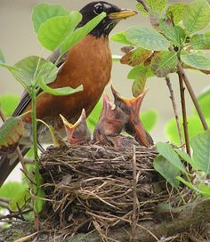 Mama robin built a nest under the eaves on our back porch...think we have two babies now....could sit there all day watching mama care for them