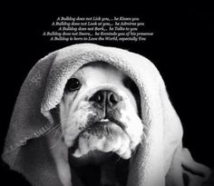 #English_Bulldog