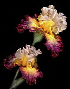 Beautiful irises.