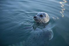 Harbour Seal in Fisherman's Warf. by Katt Talsma on 500px