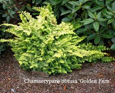 Dwarf conifers like Chamaecyparis obtusa 'Golden Fern' also make great companions to larger plants. 'Golden Fern' False Cypress is a 2' tall evergreen with foliage that really looks like the fronds of a fern! It's even better than a fern, though, because it is evergreen and has a lovely golden color that makes it really pop. In sun it is a bright gold, and in part shade it takes on shades of chartreuse and blue.