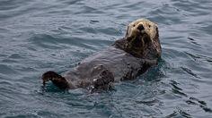 Otter Water Swim Wet [1920x1080] Need #iPhone #6S #Plus #Wallpaper/ #Background for #IPhone6SPlus? Follow iPhone 6S Plus 3Wallpapers/ #Backgrounds Must to Have http://ift.tt/1SfrOMr