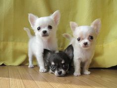Effective Potty Training Chihuahua Consistency Is Key Ideas. Brilliant Potty Training Chihuahua Consistency Is Key Ideas. Teacup Chihuahua, Chihuahua Puppies, Cute Puppies, Cute Dogs, Dogs And Puppies, Doggies, Chihuahua Names, Cute Animal Pictures, Dog Pictures