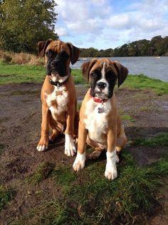 Aren't these just the cutest pair.... via @KaufmannsPuppy