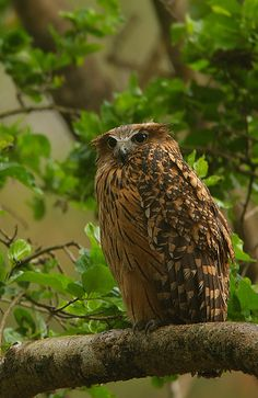The tawny fish owl (Bubo flavipes) is a species of owl. It used to be placed in Ketupa with the other fish owls, but that group is tentatively included with the eagle-owls in Bubo, until the affiliations of the fish owls and fishing owls can be resolved more precisely.This typical owl is found in subtropical to temperate forests in Bangladesh, Bhutan, China, India, Laos, Myanmar, Nepal, Taiwan, and Vietnam. They inhabit the Himalayan foothills from Kashmir and Garhwal east to the mountains…