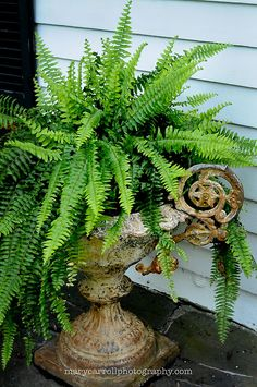 Fern in Antique Urn