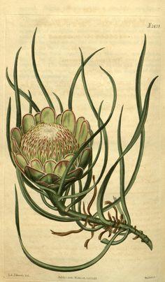 Protea laevis. v.50 (1822-1823) - Curtis's botanical magazine. - Biodiversity Heritage Library