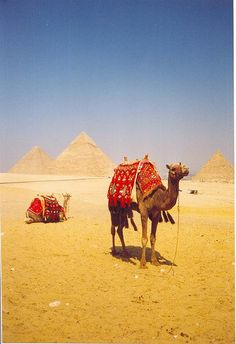 camels at the pyramids egypt