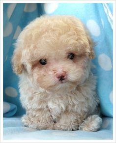 awww toy poodle