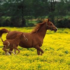 Sorrel Mare and Foal Running in a Field of Wild Yellow Flowers Together.