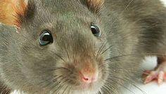 10 trucs anti-rats efficace pour réussir à faire fuir les rats de votre maison ou de votre jardin. Découvrez des astuces efficaces contre les rats.